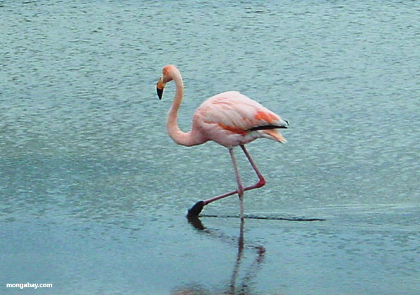 Flamingo, South America
