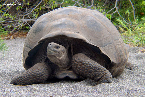 Galapagos Tortoise, South America