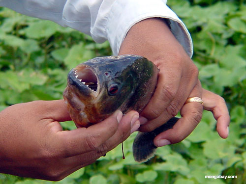 Pesca Do Piranha