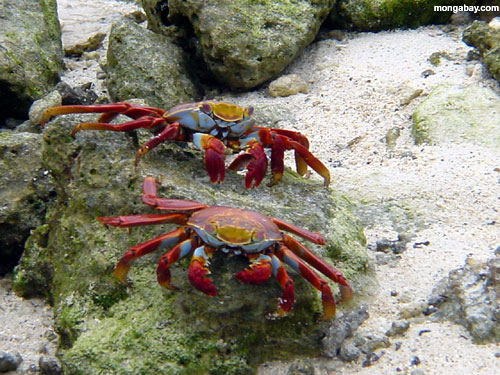 Red-Legged Crabs